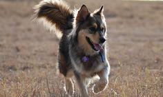 golden retriever husky mix with black and brown husky coat Golden Husky Mix, Bernese Mountain Dog Mix, Relaxed Dog, Golden Retriever Mix, Retriever Puppies, Cutest Dog Ever, Dog Mixes, Beautiful Dogs, Doge