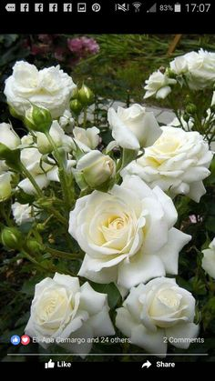 White rise - All About White Roses, Pink Roses, White Flowers, Beautiful Roses, Beautiful Gardens, Beautiful Flowers, Roses Only, Rosa Rose, Moon Garden