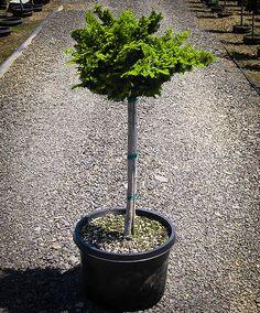 Leyland Cypress Trees For Your Garden Commercial Landscape Design, Hinoki Cypress, Evergreen Bush, Trees Online, Foundation Planting, Sun Plants, Cypress Trees, Low Maintenance Plants, Garden Soil