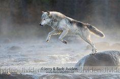 Gray Wolf Jumping Stream