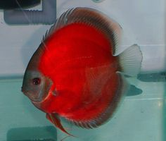 Discus Cichlid | Think he look like this fish wearing a red silk suit ^ _ ^