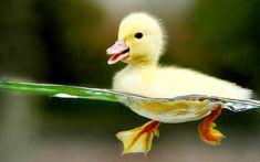 Ducklings first swim