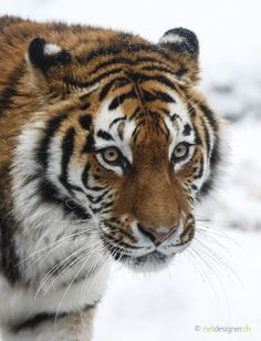 "beautiful-wildlife: ""Siberian Tiger by Daniel Münger """