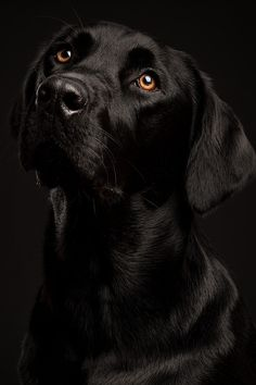 Black Labrador one of man´s best friend!