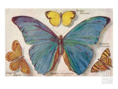 Varieties of Butterfly Premium Poster at Art.com