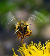 AERODINAMICA EN LAS ABEJAS - AERODYNAMIC IN THE BEES.