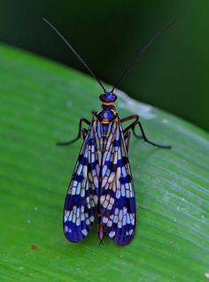 The Panorpidae are a family of scorpionflies. They are 9–25 mm long. These insects have four membranous wings and threadlike antennae. Their elongated faces terminate with jaws that are used to feed on dead and dying insects, nectar, and rotting fruit. While in larval form, they scavenge by consuming dead insects on the ground