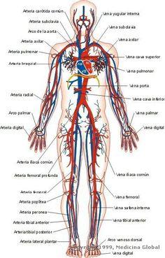 Human Body Anatomy, Human Anatomy And Physiology, Muscle Anatomy, Medicine Notes, Medicine Student, Blood Vessels Anatomy, Nursing School Notes, Medical Anatomy, Anatomy Study