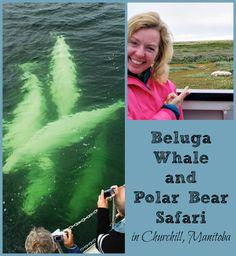 Come along on an arctic safari of sorts to spot beluga whales and polar bears in Churchill, Manitoba - the world's polar bear capital!