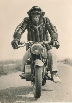 Even a monkey can ride a motorcycle Animals And Pets, Funny Animals, Cute Animals, Magnificent Beasts, Monkey Tattoos, Monkey Art, Cartoon Monkey, Planet Of The Apes, Motorcycle Art