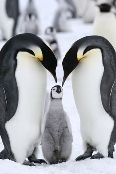 Emperor penguins (Aptenodytes forsteri) on the ice in the Weddell Sea, Antarctica - a perfect family picture even at the extreme end of the world.