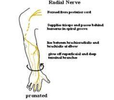 Znalezione obrazy dla zapytania nervus radialis impingement