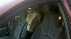 Sick miniature horse + no horse float = ingenious use of minivan