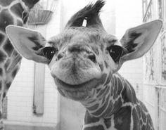 This giraffe seriously looks like  Yoda