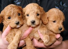 Adorable and Cute Golden Retriever Puppies