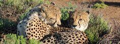 Cheetah taken at Sanbona Reserve