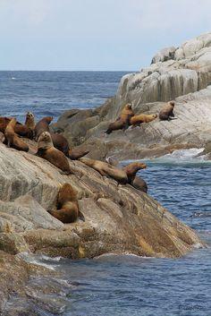 Sea Lions 4 - Aug 25, via Flickr. #PinUpLive