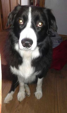 Border Collie - Tilly :)
