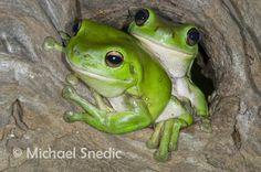 Green Tree Frogs
