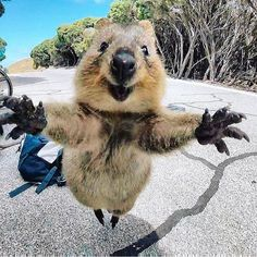 Quokka jumping for joy