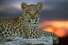 Wildlife photographer Martin Harvey captured this stunning shot of a leopard cub, Africa's most elusive big cat.