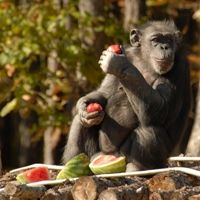 Project ChimpCARE is dedicated to improving the lives of chimpanzees living across the United States. If you care about this important and complex species, you can be part of this effort as well…