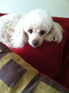 my puppy, Bella (toy poodle)