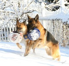 Xano & Veda .... Father & Daughter ... Running in Unison through the snow.  Magical. <3