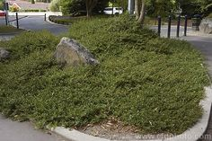 Kirk's Coprosma (Coprosma × kirkii). A New Zealand plant thought to be a C. acerosa × C. repens hybrid, this quick-growing ground cover is an excellent filler. It thrives in tough areas such as road islands and other amenity plantings, as shown here.