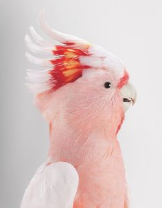 Cockatoo, by Leila Jeffreys...I knew 2 Cockatoos a long time ago, and they were both so affectionate and well mannered.  One of them would complete certain songs at the exact place you stopped singing...it was a TRIP  lol.  I would love to own this bird