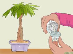 4 ways to care for a money tree - wikiHow art design landspacing to plant Money Tree Plant Care, House Plant Care, Pachira Money Tree, Planting Succulents, Planting Flowers, Red Maple Bonsai, Plants In Bottles, Bonsai Soil, Bonsai Tree Care