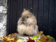 Lionhead Rabbit- Dying from cuteness overload! (and dies of laughter)