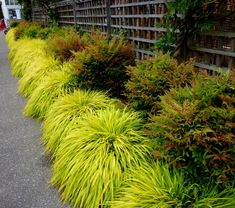 "Brighten up a shady boarder with ""All Gold Japanese Forest Grass"" (Hakonechloa macra 'All Gold'). It provides its own sunshine, and I adore the way it mounds! Hardiness Zone: 4 - 9"