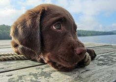 Nash the Labrador Retriever - Daily Puppy