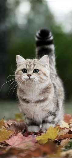 Voilà un beau spécimen de chat .                          Ce petit félin ne peut que nous attendrir