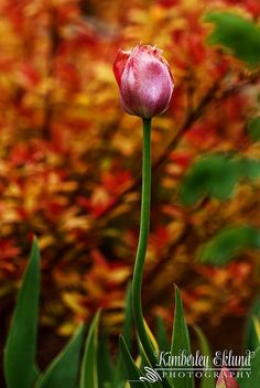 Tulips - my all time favorite flower