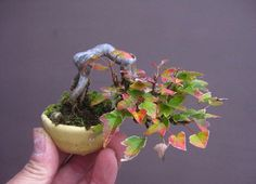 A Customer's Guide To Herbal Dietary Supplements On The Net Acer Monspessulanum - Maple Bonsai Bonsai Tree Types, Bonsai Plants, Bonsai Garden, Bonsai Trees, Succulents Garden, Air Plants, Cactus Plants, Arrangements Ikebana, Minis