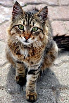 Beautiful Cat - lovely cats and kittens - Katzen Pretty Cats, Beautiful Cats, Animals Beautiful, Pretty Kitty, Gorgeous Eyes, Gorgeous Gorgeous, Beautiful Cat Breeds, Hello Beautiful, Beautiful Life