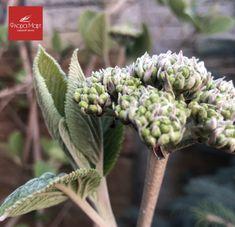 Калина гордовина один из самых интересных и декоративных видов. Её листья не похожи на листья привычных нам калин — они округлые и опушенные, осенью приобретают яркую окраску. Плоды тоже необычны, так как одновременно в кисти есть и красные (недозрелые), и черные съедобные ягоды. К тому же это растение не поражается вредителями. Очень хорошо калина гордовина смотрится в совместной посадке с рябинами, кленами. соснами и елями, а также в одиночной посадке в полутенистых местах участка. 😍🌺🌱 Flora, Garden, Plants, Garten, Gardens, Planters, Tuin, Plant, Planting