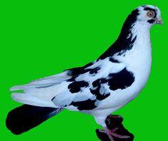 Porumbei de agrement - Rase Bird, Animals, Animales, Animaux, Birds, Animal, Animais