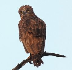 Brown Snake Eagle, South Africa