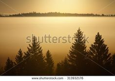 Stock Photo: Trees in morning fog. Silhouettes of big trees in golden morning light.