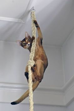 If you have the space and DIY nous to mount some cat shelves on the wall thats also an easy way to ensure that your feline is having fun while getting their daily step count up. Grand Chat, Cat Room, Cat Activity, Abyssinian, Cute Cats And Kittens, Beautiful Cats, Cat Breeds, Cat Memes, Crazy Cats