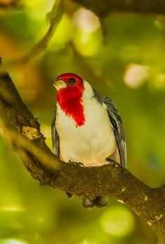 Local bird of Hawaii