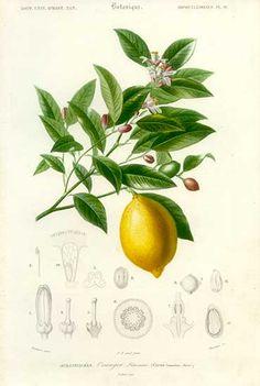 Lemon Fruit from D'Orbigny's Dictionnaire D'Histoire Naturelle 1849