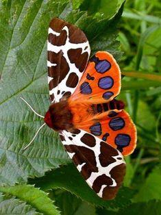 quenalbertini: Garden Tiger Moth – Found in Europe and the Western U… butterflies.quenalbertini: Garden Tiger Moth – Found in Europe … Tiger Moth, Beautiful Creatures, Animals Beautiful, Cute Animals, Beautiful Bugs, Beautiful Butterflies, Paper Butterflies, Beautiful Pictures, Moth Caterpillar