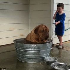 Not amused: French Mastiff Legend looks the picture of misery as he is showed by Isiah