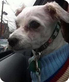 Verona, NJ - Maltese. Meet Newman, a dog for adoption. http://www.adoptapet.com/pet/12801056-verona-new-jersey-maltese