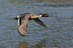 Northern_Pintail_Duck.jpg 710×473 pixels