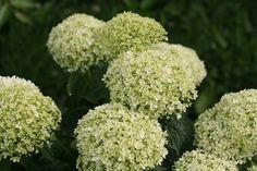 Invincibelle+Limetta™+-+Smooth+hydrangea+-+Hydrangea+arborescens